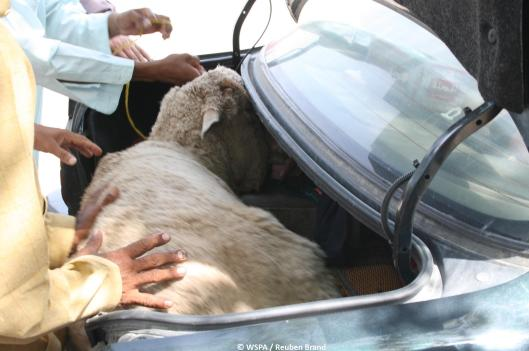 Live sheep in a car boot - Dubai