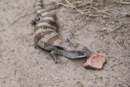 Blue Tongue Lizard Eating Dogfood from Vectesian Lad
