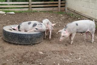 Julian's Pigs
