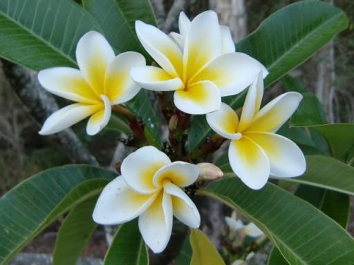 lindyp_Frangipani_Flowers-938x704