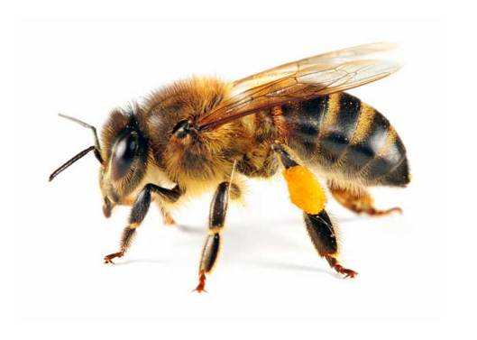 bee-with-pollen-241132730_std