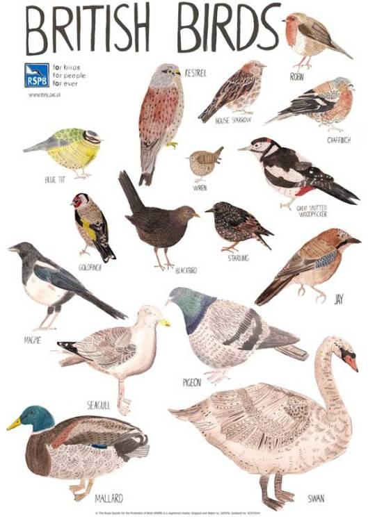 pommie birds